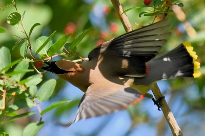 #1510  Cedar Waxwing stretching for a berry