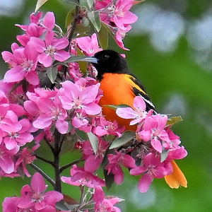 #1536  Baltimore Oriole, male  in crabapple tree
