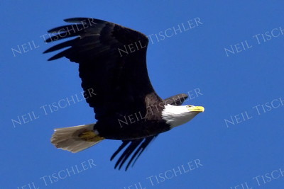 #1696  Bald Eagle, adult, in flight  Picture taken from a kayak on Nashua River, near Groton, MA on 4/29/20.  Eagle was close to its nest in the top of a pine tree.