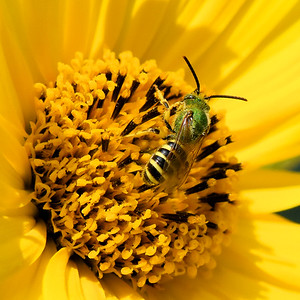 #1527  Virescent Green Metallic Bee