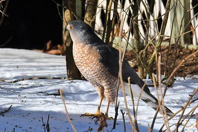 #1623  Cooper's hawk looking for prey