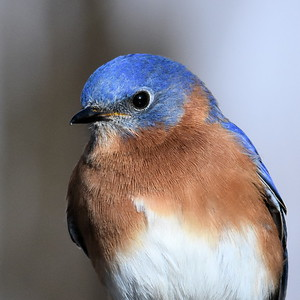 #1526  Eastern Bluebird portrait, male