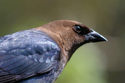 #1511  Brown-headed Cowbird portrait, male