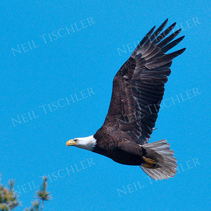 #1692  Bald Eagle, adult, in flight  Picture taken from a kayak on Nashua River, near Groton, MA on 4/29/20.  Eagle was close to its nest in the top of a pine tree.