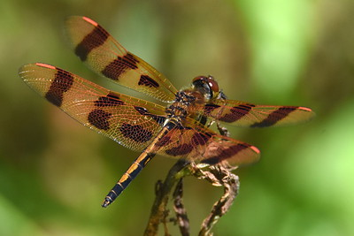 #1509  Halloween Pennant dragonfly, male