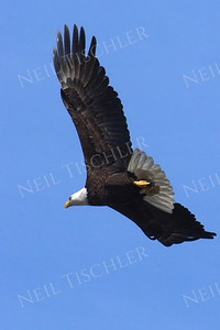 #1695  Bald Eagle, adult, in flight  Picture taken from a kayak on Nashua River, near Groton, MA on 4/29/20.  Eagle was close to its nest in the top of a pine tree.