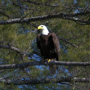 #1689  Bald Eagle, adult, perched  Picture taken from a kayak on Nashua River, near Groton, MA on 4/29/20.  Eagle was close to its nest in the top of a pine tree.