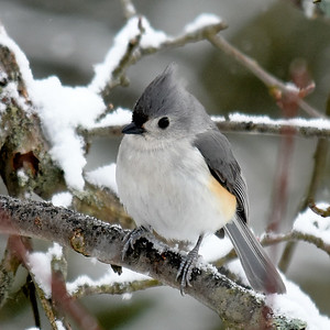 #1655   Tufted Titmouse