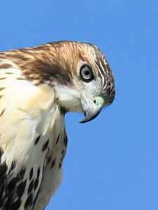 #1515  Red-tailed Hawk portrait