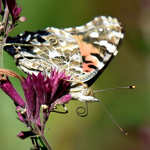 #1609  Painted Lady butterfly on mint