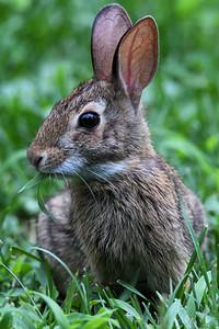 #1614  rabbit munching