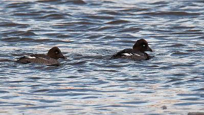 #1648  Common Goldeneye duck females  at Newburyport, MA  in January 2020