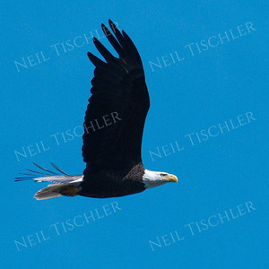 #1705  Bald Eagle, adult, in flight  Picture taken from a kayak on Nashua River, near Groton, MA on 4/29/20.  Eagle was close to its nest in the top of a pine tree.