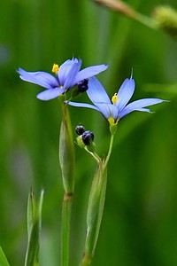 #1545  Blue-eyed Grass