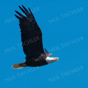 #1699  Bald Eagle, adult, in flight  Picture taken from a kayak on Nashua River, near Groton, MA on 4/29/20.  Eagle was close to its nest in the top of a pine tree.