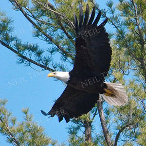 #1691  Bald Eagle, adult, in flight  Picture taken from a kayak on Nashua River, near Groton, MA on 4/29/20.  Eagle was close to its nest in the top of a pine tree.