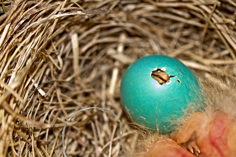 Truly amazing! I have never seen the start of a bird hatching before.