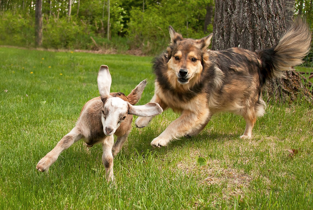 Catch me if you can!!!  :o)<br /> <br /> Our dog was only playing with our baby goat. :o)