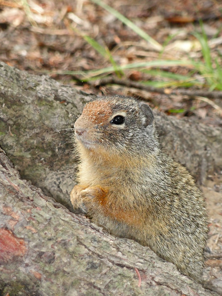 Ground Squirrel, captured in Yoho National Park, BC, Canada