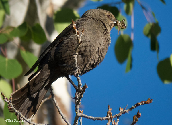 Female Brewer's Blackbird