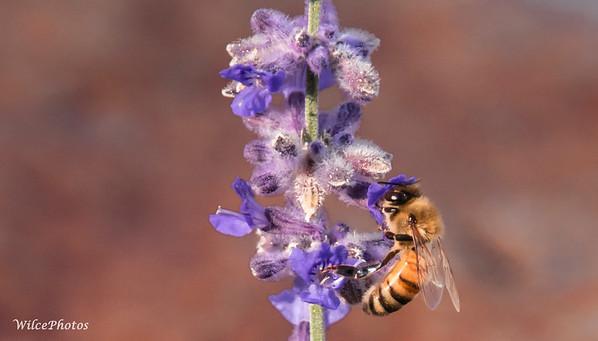 Honeybee  (Photo #8371)