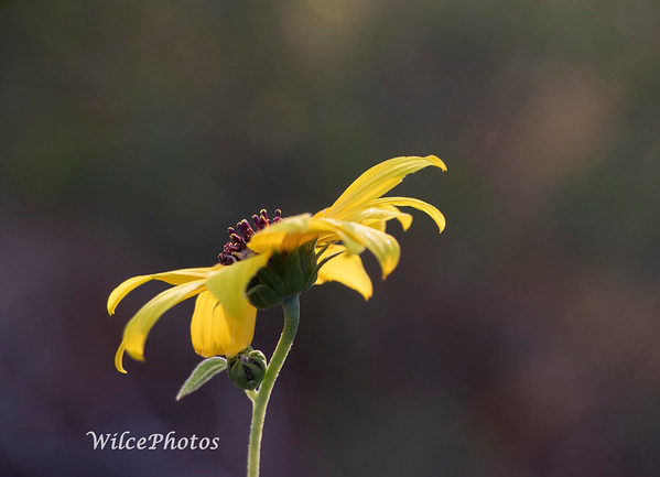 Wild Sunflower (Photo #7786)