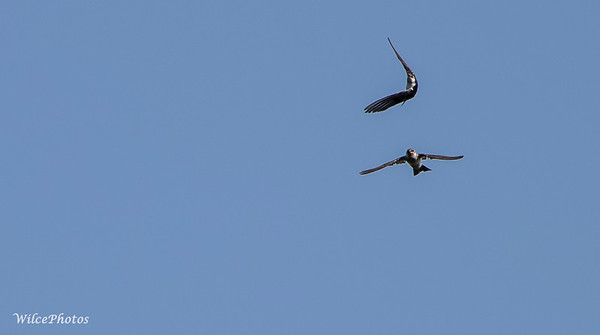 Two Swallows Pass Close In The Air; (Photo #1945)