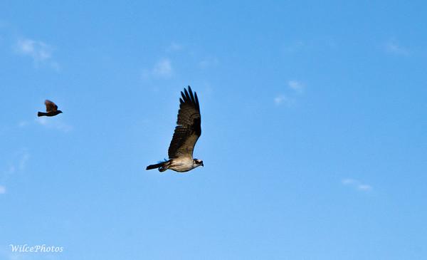 Osprey Chased By Blackbird (Photo#2033)