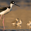 black neck stilt with babies