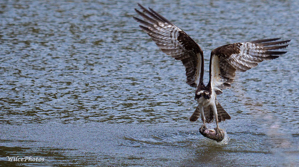 OspreyEmergesWithFish (Photo #P4210481)