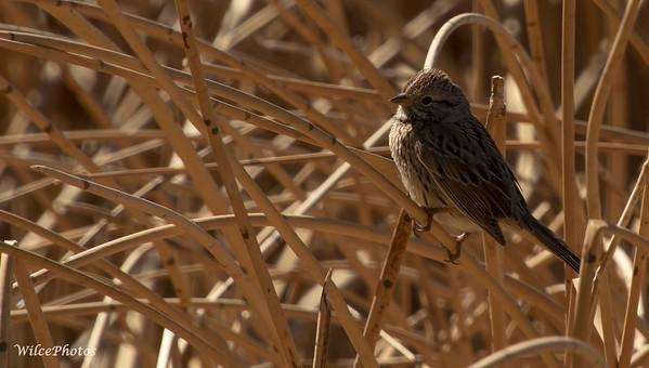 Lincoln's Sparrow (Photo #0390)