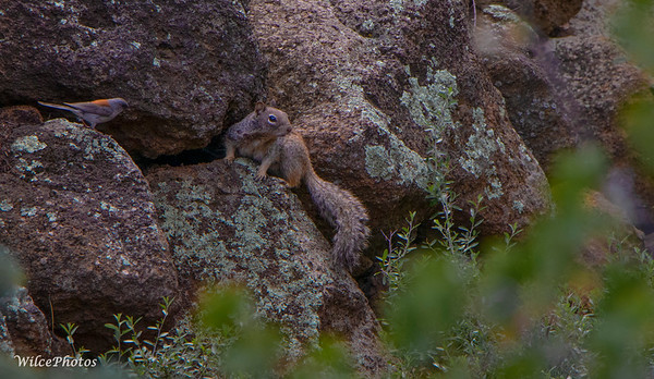Dark Eyed Junco Vs. Rock Squirrel; (Photo #2763)
