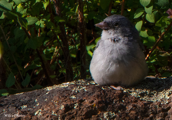 Dark Eyed Junco On Rock Wall;  (Photo #9142)