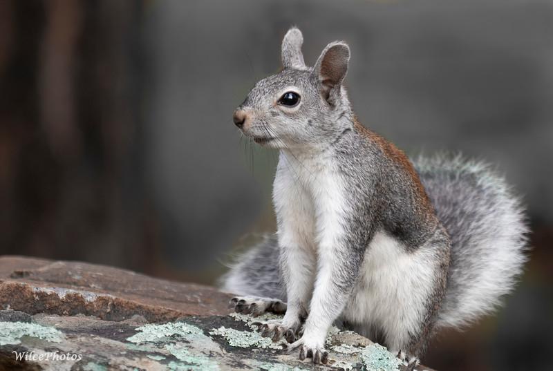 Abert'sSquirrelOnStoneFence (Photo #P8130046)