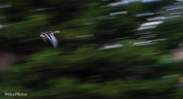 Mallard; (Photo #0022)