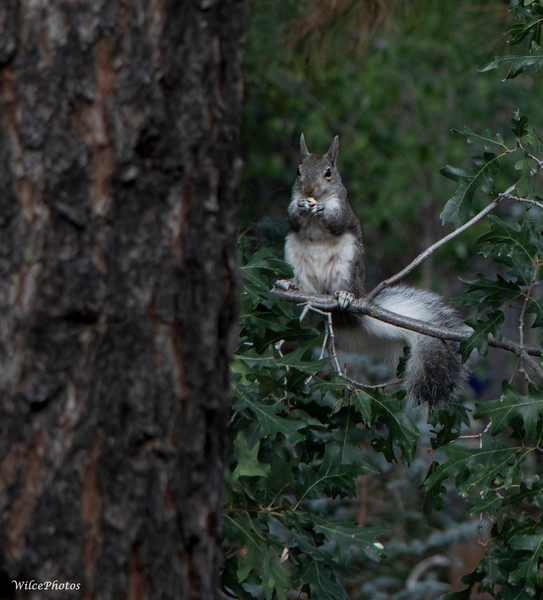 Abert's Squirrel (Photo #8520)