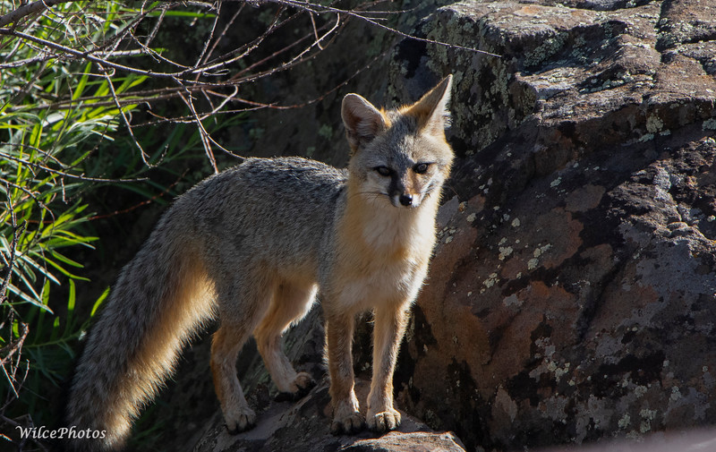 Gray Fox (Photo  #7366)