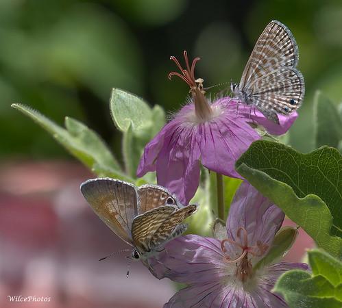 Marine Blue Butterflies On Geranium (Photo #P6240454)