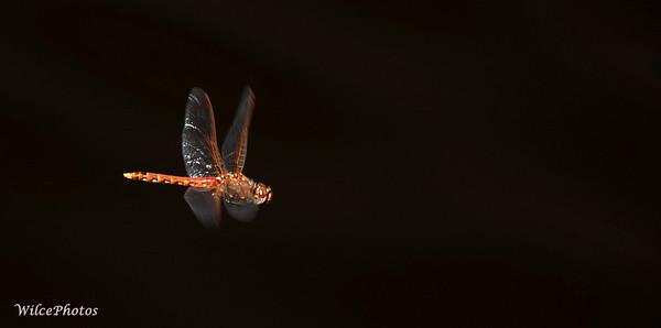 VariegatedMeadowhawk (Photo #P8078368)