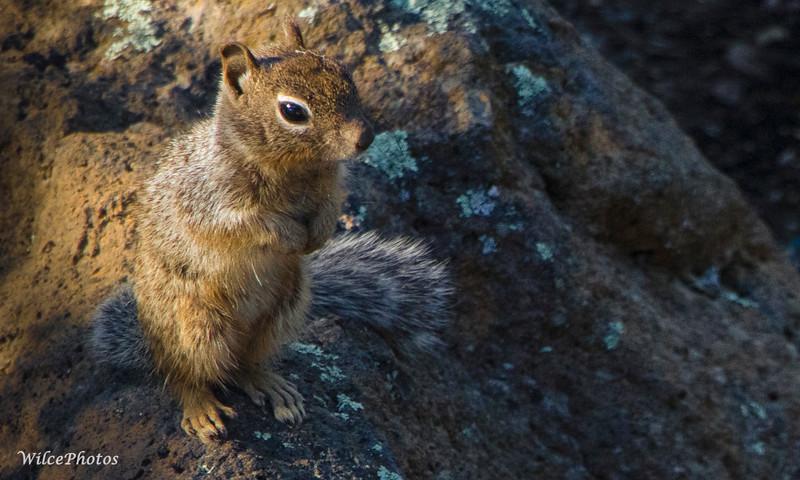 Rock Squirrel (Photo #5288)