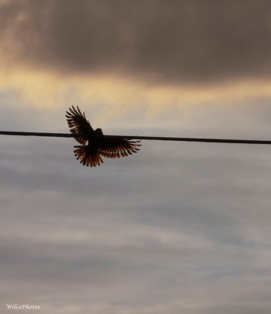 Raven Lands On Power Line (Photo #1989)
