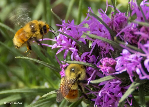 Tricolored Bumblebees On Leatris