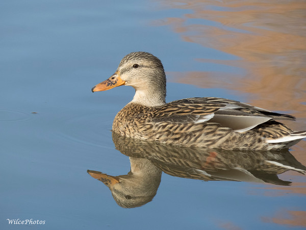 Mallard Hen Near Sunset