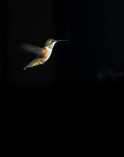 Rufous Hummingbird (Photo #7148)