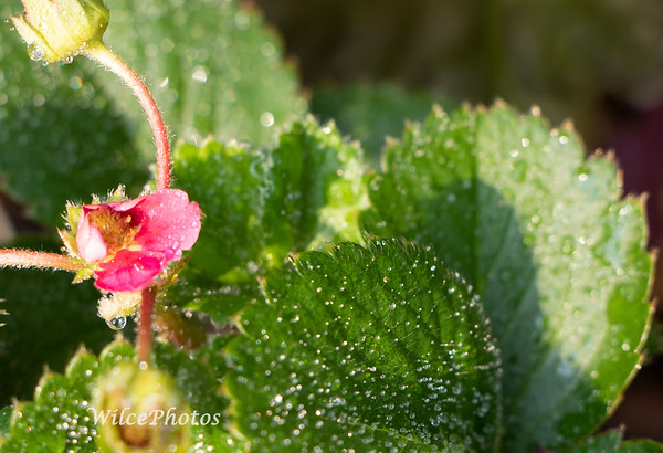 DropletsOnStrawberryPlant;  #9777