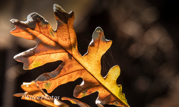 Oak Leaf; (Photo#0606)