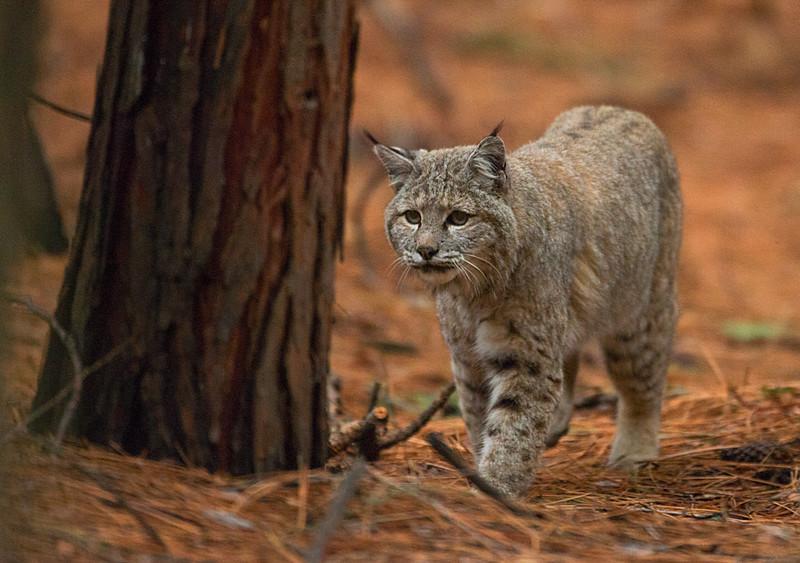 bobcat after a meal