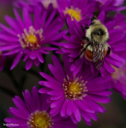BumblebeeOnAster (Photo #P9039060)