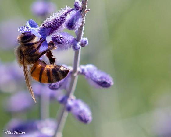 HoneybeeOnRussianSage (Photo #P7305508)