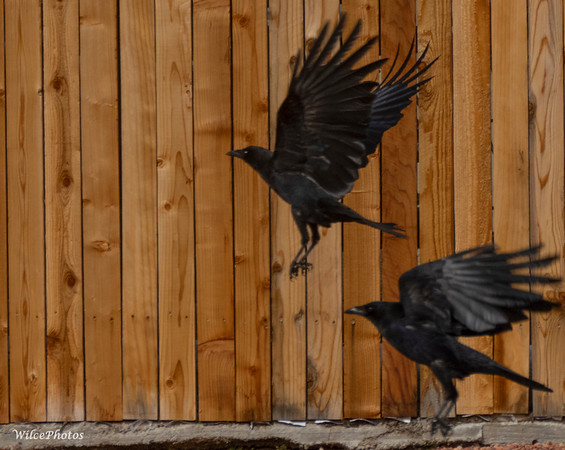 Corvids fly by fence